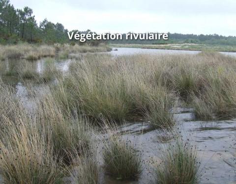 Végétation rivulaire