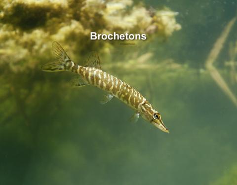 Brochetons